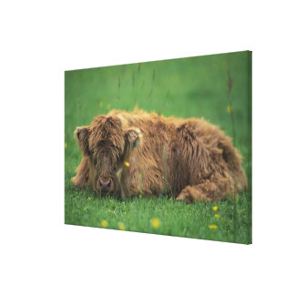 United Kingdom, Scotland. Highland calf Canvas Print