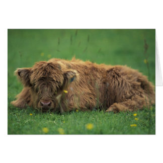 United Kingdom, Scotland. Highland calf Card