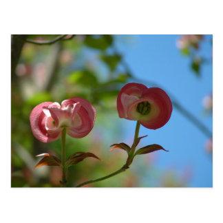 Unopened Pink Dogwood Postcard