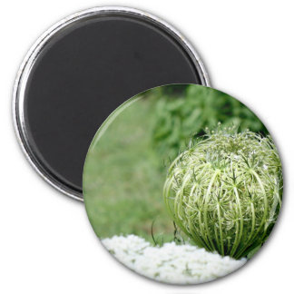 Unopened Queen Anne s Lace Magnet