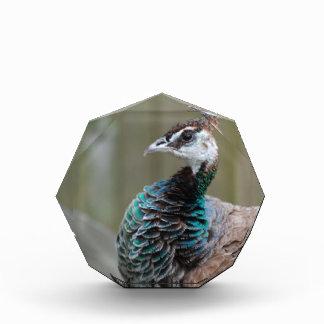 Unusual Peacock Award