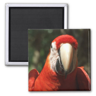 Up Close and Personal Scarlet Macaw Magnet