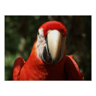 Up Close and Personal Scarlet Macaw Poster