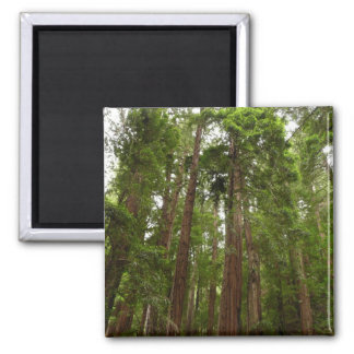 Up to Redwoods at Muir Woods National Monument 2 Inch Square Magnet