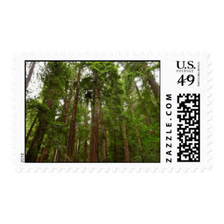 Up to Redwoods at Muir Woods National Monument Postage Stamp