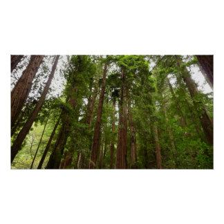 Up to Redwoods at Muir Woods National Monument Poster