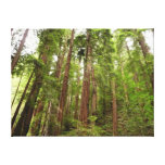 Up to Redwoods Stretched Canvas Print