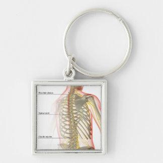 Upper Body Nerve Supply Keychain