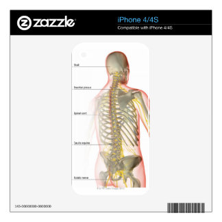 Upper Body Nerve Supply Skin For iPhone 4