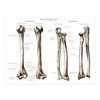 Upper Limbs Sepia Postcard