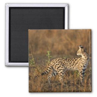 Upper Mara, Masai Mara Game Reserve, Kenya, 2 Inch Square Magnet