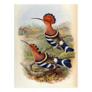 Upupa Nigripennis (Hoopoe indio) Postales