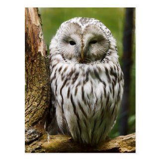 Ural Owl perched on a limb Postcard