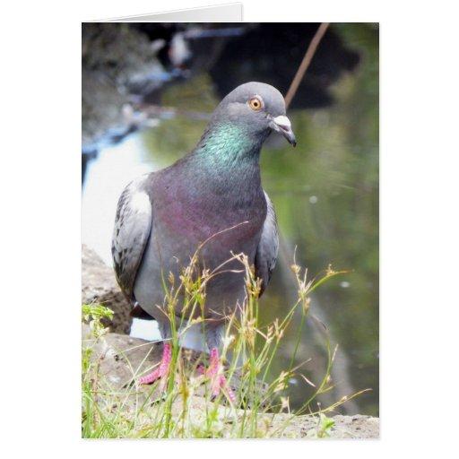 Urban Pigeon Cards
