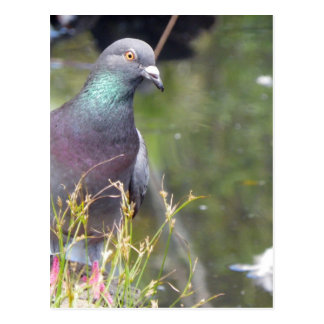 Urban Pigeon Postcard