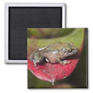 Urdaneta Robber Frog Pristimantis orestes) 2 Inch Square Magnet