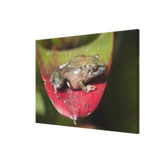 Urdaneta Robber Frog Pristimantis orestes) Canvas Print