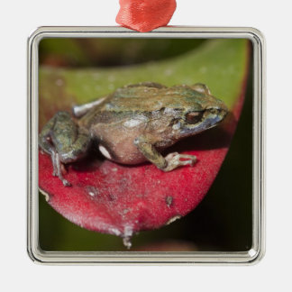 Urdaneta Robber Frog Pristimantis orestes) Metal Ornament