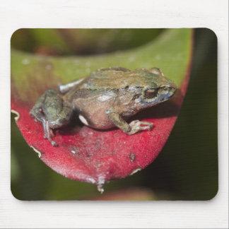 Urdaneta Robber Frog Pristimantis orestes) Mouse Pad