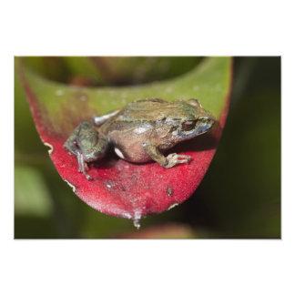 Urdaneta Robber Frog Pristimantis orestes) Photograph