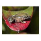 Urdaneta Robber Frog Pristimantis orestes) Postcard