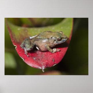 Urdaneta Robber Frog Pristimantis orestes) Poster