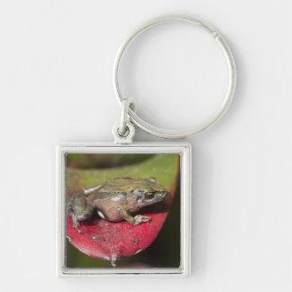 Urdaneta Robber Frog Pristimantis orestes) Silver-Colored Square Keychain