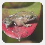 Urdaneta Robber Frog Pristimantis orestes) Square Sticker
