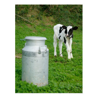 Urna del becerro y de la leche postal