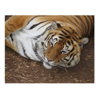 """""""us he devours"""" - Resting tiger Postcard"""