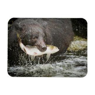USA, Alaska, Anan Creek. Close-Up Of Black Bear Magnet