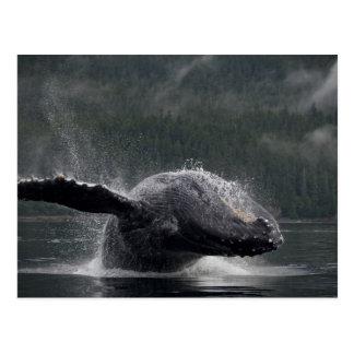 USA, Alaska, Angoon, Humpback Whale Megaptera 2 Postcard