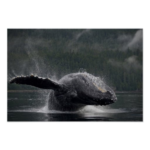 USA, Alaska, Angoon, Humpback Whale Megaptera 2 Poster