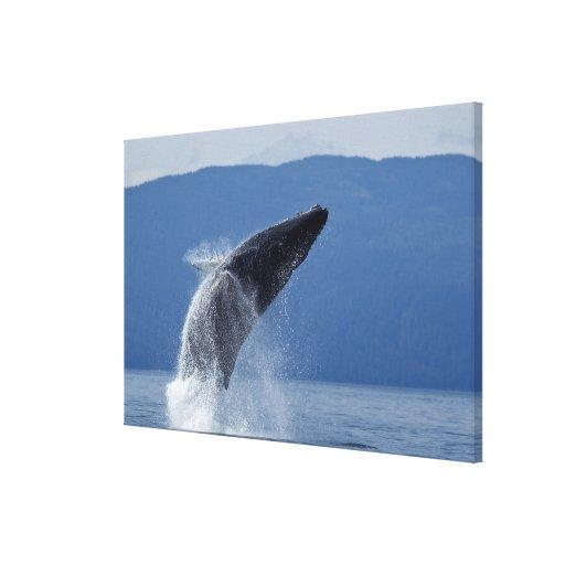 USA, Alaska, Angoon, Humpback Whale (Megaptera Canvas Print