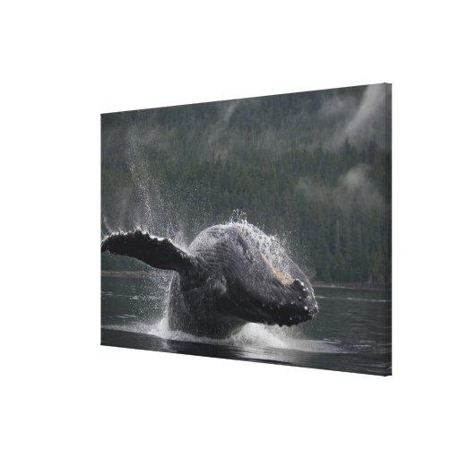 USA, Alaska, Angoon, Humpback Whale Megaptera Gallery Wrapped Canvas