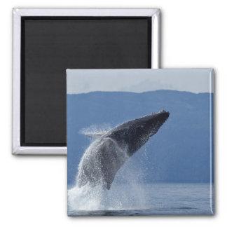 USA, Alaska, Angoon, Humpback Whale (Megaptera 2 Inch Square Magnet