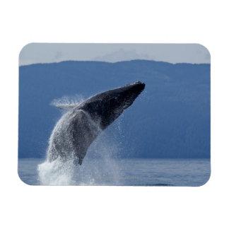 USA, Alaska, Angoon, Humpback Whale (Megaptera Rectangular Photo Magnet