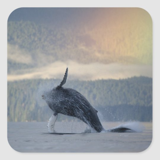 USA, Alaska, Angoon, Humpback Whale Megaptera Square Sticker