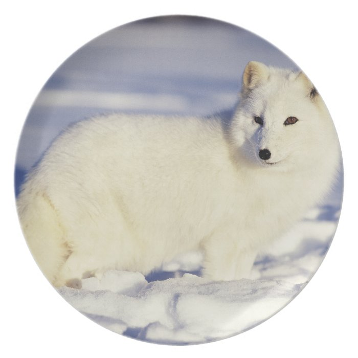 USA, Alaska. Arctic fox in winter coat. Credit Melamine Plate