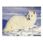 USA, Alaska. Arctic fox in winter coat. Credit Postcard