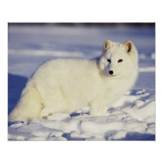USA Alaska Arctic fox in winter coat Credit Poster