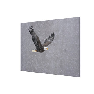 USA, Alaska, Chilkat Bald Eagle Preserve. Bald Canvas Print