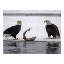 USA, Alaska, Chilkat Bald Eagle Preserve. Pair Postcard