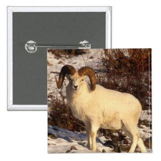 USA Alaska Chugach State Park Dall s Ram Pin