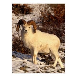 USA, Alaska, Chugach State Park, Dall's Ram Postcard