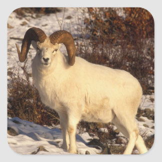 USA, Alaska, Chugach State Park, Dall's Ram Square Sticker