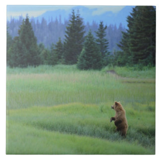 USA, Alaska, Clark Lake National Park. Grizzly Ceramic Tile