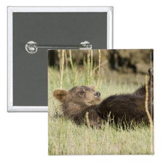 USA. Alaska. Coastal Brown Bear cub at Silver 2 Button