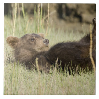 USA. Alaska. Coastal Brown Bear cub at Silver 2 Ceramic Tile