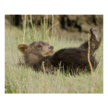 USA. Alaska. Coastal Brown Bear cub at Silver 2 Poster